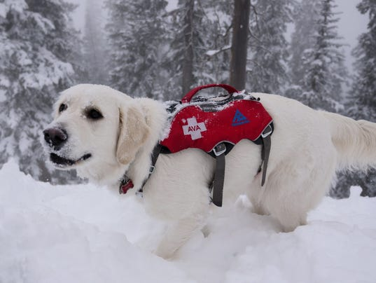 636512923811673233-Ava-Snowbowl-s-very-own-Avalanche-dog-3.jpg