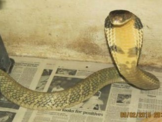 The escaped king cobra was reported Wednesday to the FWC by its owner, a licensed and bonded individual, officials said.