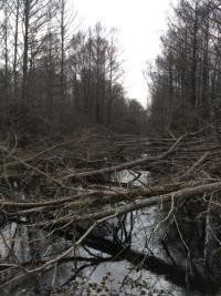 The reward for catching those responsible for cutting down trees in Avoyelles Parish has jumped to $3,000 after investigators discovered the number of trees cut down is closer to 100, according to a release.