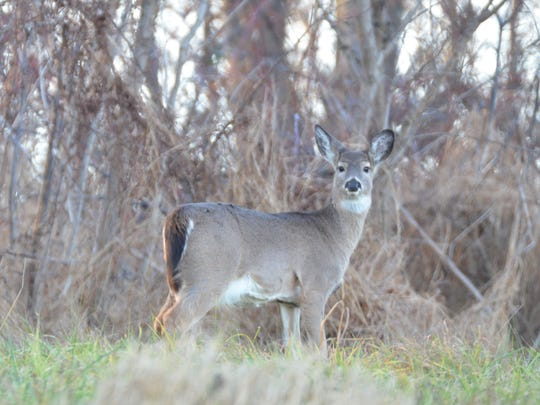 Whitetail deer are some of the author's favorite animals to observe.