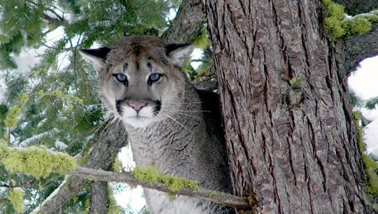 An adult male cougar