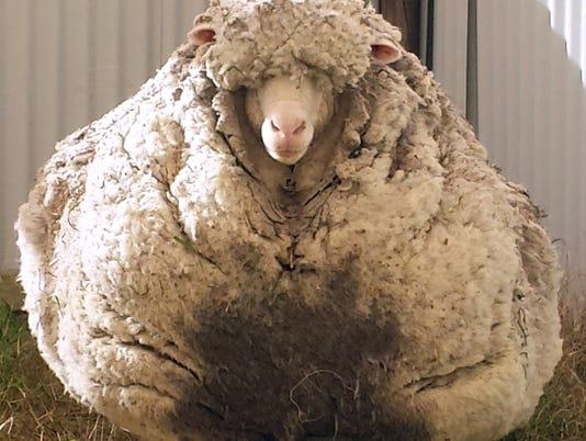 AFP sheep