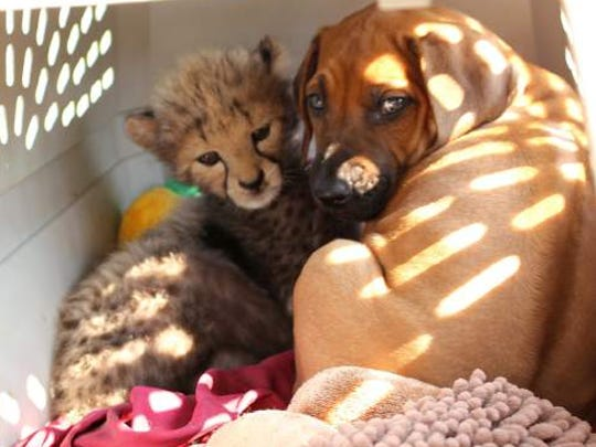 Wildlife Safari raising cheetah and puppy for ambassador