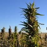 In this Oct. 5, 2013 file photo, a volunteer walks through a hemp field at a farm in Springfield, Colo.