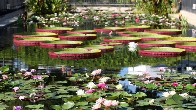 PHOTOS BY Michelle Gaitan/ Standard-Times The International Waterlily Collection at the Civic League Park has been part of San Angelo since the 1980s.