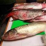 Study says grass carp have invaded three of the Great Lakes