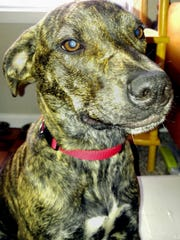 Kaiya is a young, 40-pound, spayed female hound mix.