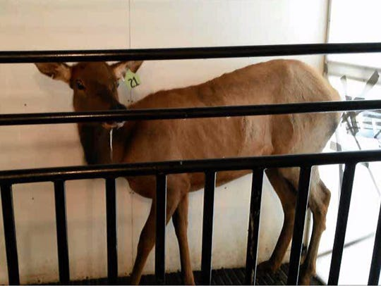 Elk given an experimental CWD vaccine in a Wyoming