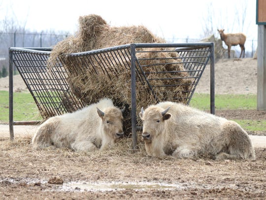 These two rare white bison were born at African Safari