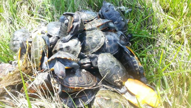 Forty-five dead diamondback terrapins were found in a single crab pot on Nassawadox Creek in Northampton County, Virginia in June 2016. Legislation introduced into the Virginia General Assembly would require recreational crabpots to have a turtle excluder device installed.