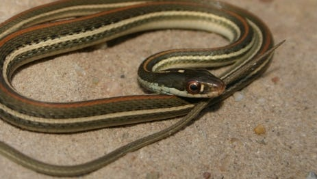 Red-stripped ribbonsnakes are almost exclusively water dwelling, and fairly abundant in streams, creeks, rivers, ponds and lakes throughout its range within the Edwards Plateau.