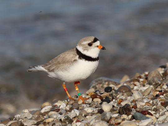 One of the rarest is the Great Lakes piping plover,