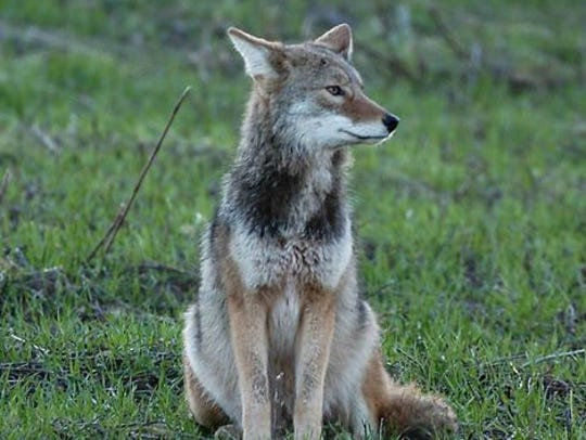 Great Parks of Hamilton County is organizing a series of presentations in February on how to coexist with coyotes.