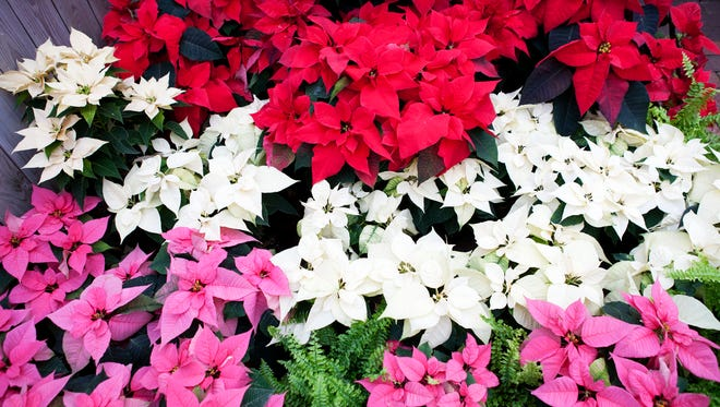 Colorful poinsettias are part of the Holiday Botanical Show at the Lamberton Conservatory in Highland Park on Saturday, January 3, 2015.