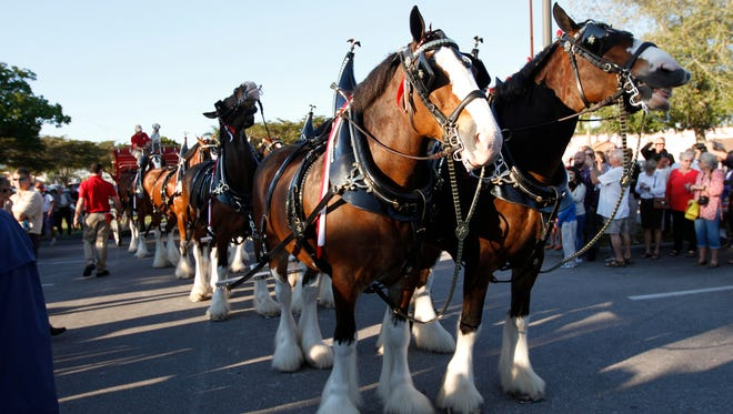 The Budweiser Clydesdales crew return to Fort Myers this week.