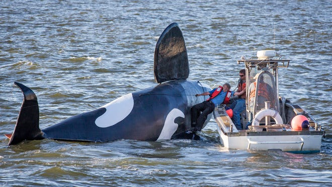 John Wifler, the pilot of the fake fiberglass orca, is pulled from the capsized vessel in the Columbia River outside of the East End Mooring Basin on Thursday, June 4, 2015,  in Astoria, Ore.