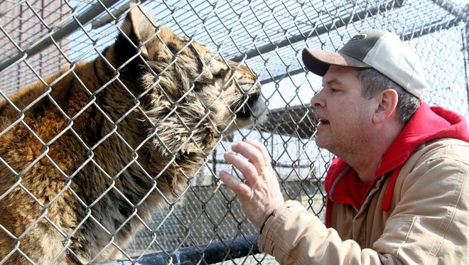 Mike Stapleton provides a chin scratch to Keisha, a 14-year-old Siberian Tiger at Stapleton's Paw's & Claws Animal Sanctuary near Waldo on Friday, Mar. 21, 2014. Stapleton keeps five tigers on the property, and is a plaintiff in an on-going lawsuit challenging Ohio's new exotic animal law, which sets new guidelines for private ownership of captive bred wild animals. James Miller/The Marion Star