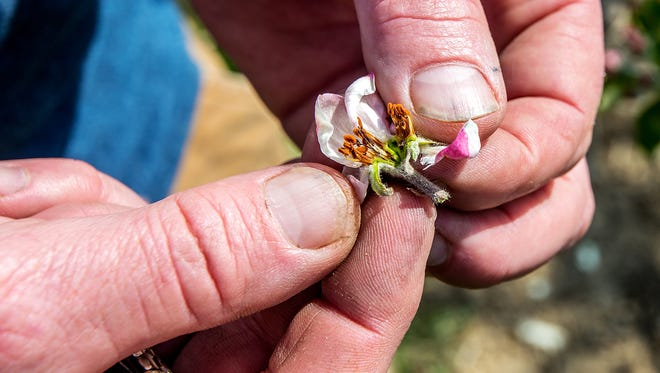 In this Monday, April 11, 2016 photo, Shannon Showalter, owner of Showalter's Orchard and Greenhouse in Timberville, Va., holds open an apple bud to show that it had been damaged by the recent frost that likely wiped out their peach crop and damaged much of the king blooms of the apple crop at their orchard. Frost damage is apparent if the center of the flower, when cut open, is brown or black.