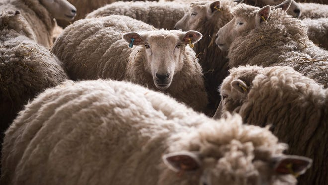 A picture shows sheep in a pen at the farm of British farmer Tony Bulgin in Thetford, Norfolk, south east England, on March 22, 2016. Stoned sheep went into gardens and caused a mess near Rhydypandy, Wales, County Councillor Ioan Richard reported.