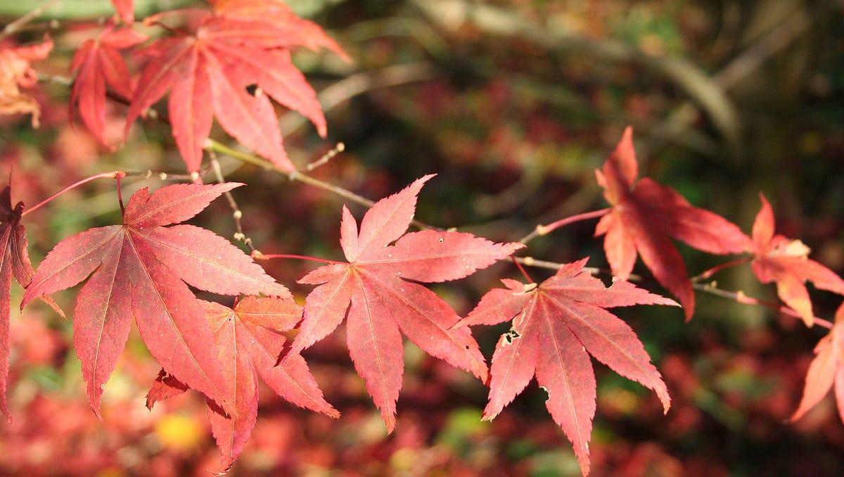 Master Gardeners Growing Japanese Maple Trees
