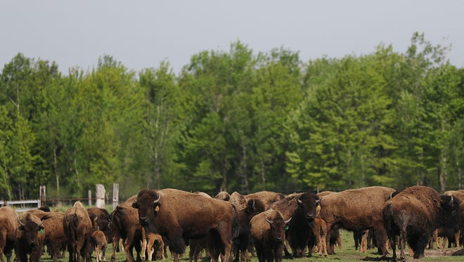 Bison stand in the pasture at LowLand Bison Ranch in Stevens Point, Monday, May 23, 2016.