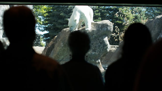 """Aurora the polar bear prepares to jump into the water at the announcement of the new """"Wildlife on the Edge"""" exhibit at Seneca Park Zoo's Rocky Coasts on June 12, 2016."""