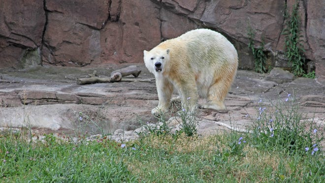 Tundra is the newest addition to the Detroit Zoo's Arctic Ring of Life.