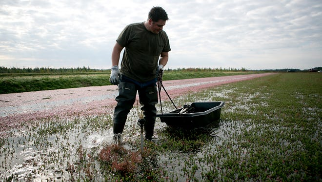 John Moss works on removing water sprinklers from the cranberry bed before a farm harrow strips the vines of cranberries during the first day of the harvest at Elm Lake Cranberry Company in the town of Cranmoor, Wednesday, Sept. 17, 2014.