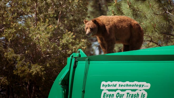 In this July 18, 2016 photo provided by Evan Welsch, a bear hitches a ride on top of a garbage truck in Los Alamos, N. M.