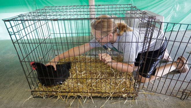 The Brown County Fair is getting ready for the 2016 edition August 16, 2016. The 4-H project contest participant Heidi Beyer of Morrison had to go in a retrieve one of her reluctant chickens entered in the poultry judging which begins Wednesday morning.