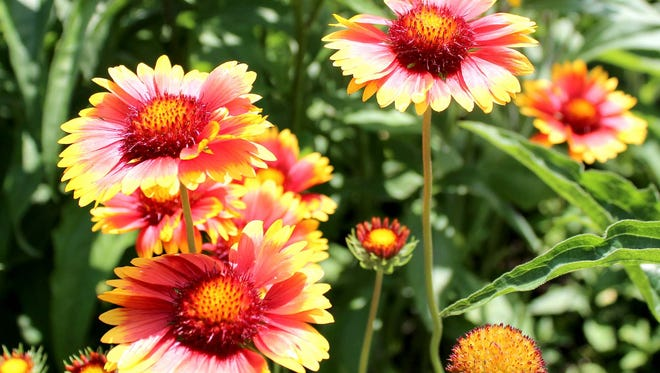 Gaillardia is a bright and attractive perennial that blooms from June to September.