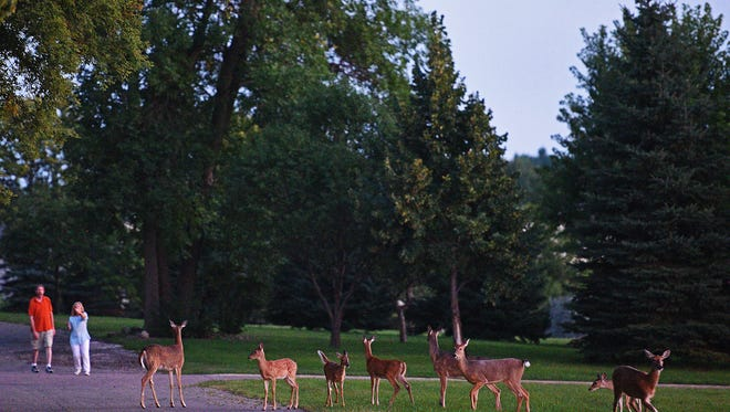 Whitetail deer Sunday, Aug. 28, 2016, along Southeastern Avenue in Sioux Falls.
