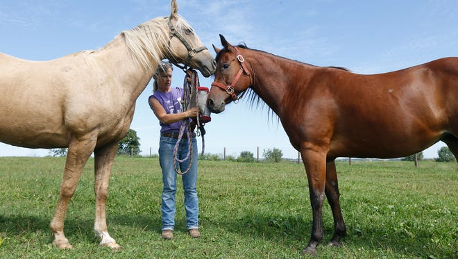 Carrie Spain, Second Chance Ranch Coordinator of the Animal Rescue League of Iowa puts halters on rescue horses Angel, left, and Daisy, right, at a foster care facility near Elkhart, Thursday, Sept. 8, 2016. Angel is a Palomino who was rescued after a result of neglect. Daisy is a Bay horse who has gone blind from uveitis which causes blindness if left untreated. Since having met, the two have become close friends. Angel guides Daisy around the pasture.