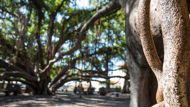 This undated photo provided by the Hawaii Tourism Authority shows banyan tree branches in Lahaina, Maui, Hawaii. A banyan was planted here in 1873 in Lahaina, to mark 50 years since the arrival of the first American Protestant mission. The tree spread by aerial roots, creating new tree trunks when the roots sink into the ground.