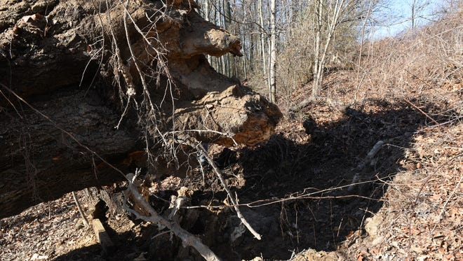 A 110-foot black oak, which was listed as the biggest in Pennsylvania, fell in a field about 100 yards off Orchard Drive in Mont Alto.