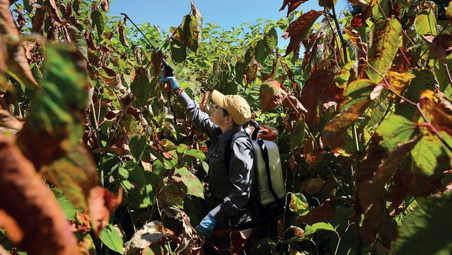 Dana Coggon, Kitsap County's noxious weed control coordinator, sprays knotweeds at Naval Undersea Warfare-Center in Keyport. The brown leaves have already been sprayed and are dying. She's hitting the green weeds next to the lagoon.