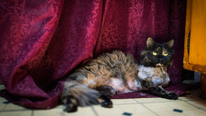Angel, a long-haired tortoiseshell cat, relaxes on a curtain within her home.