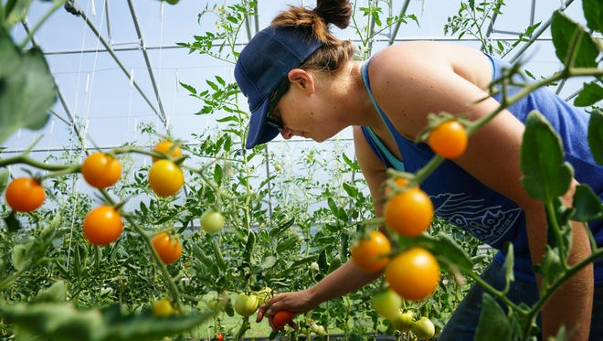 Jenny Quiner picks tomatoes at Dogpatch Urban Gardens on July 19, 2017.