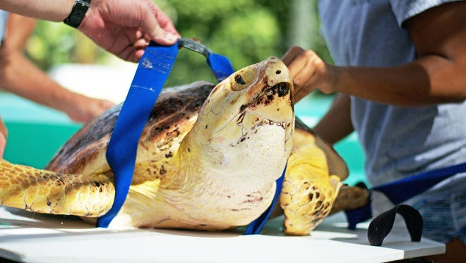 Dusty the sea turtle was released from Juno Beach on the the morning of July 18. Loggerhead Marinelife Center officials released Dusty, a sub-adult loggerhead turtle, who was found floating offshore in St. Lucie County. Dusty is pictured being prepared for release.