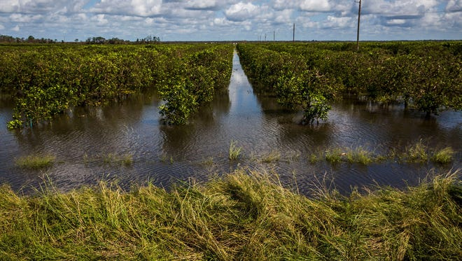 Flooded orange fields about a mile outside Immokalee, Fla., on Tuesday, Sept. 12, 2017. Growers in southwest Florida are calculating their losses after Hurricane Irma.