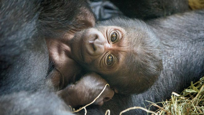 This western lowland gorilla, Ajabu, was born on June 2 at Philadelphia Zoo and can be found in the PECO Primate Reserve.