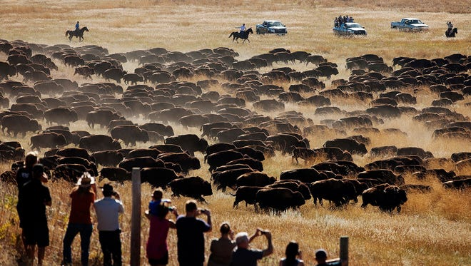 FILE - In this Sept. 26, 2014 file photo, spectators watch as riders and drivers herd about 1,200 bison toward the corrals at the 49th annual Custer State Park Buffalo Roundup in the southern Black Hills near Custer, S.D. Custer State Park, known for drawing thousands of spectators to its fall buffalo roundup each year, is set to perform another, unexpected roundup in the coming days to inspect its bison after a historic wildfire burned through the South Dakota park this week.