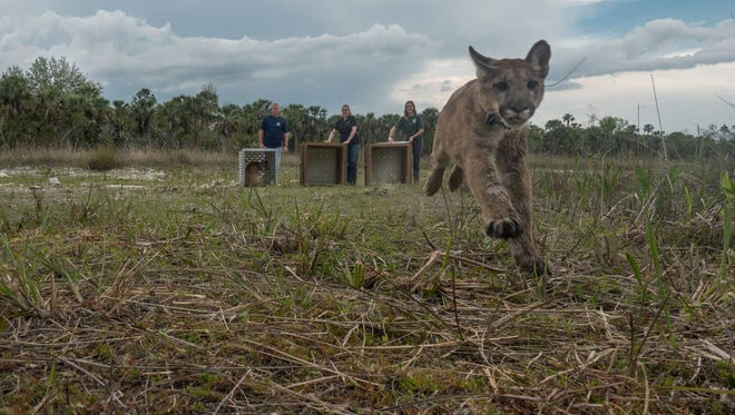 The Florida Fish and Wildlife Conservation Commission (FWC) panther team released a panther family on the Picayune Strand State Forest in Collier County on Tuesday, April 10, 2018.