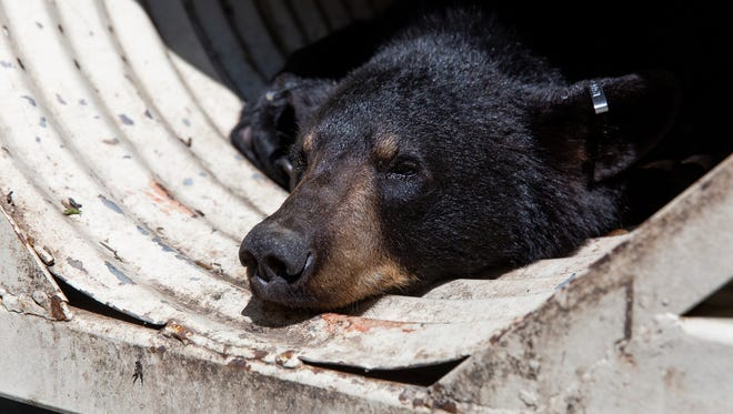 A sedated male one-year-old black bear sits in a cage after being removed from a tree on the first block of Ruth Ave, Friday, May 25, 2018 in Hanover Borough. The bear was removed from the tree without incident and will be taken to a forested area to be released, according to the Game Warden.