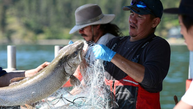In this June 20, 2018, photo, Woody Red Cloud removes a lake trout from a gill net during a Native Fish Keepers netting operation on Flathead Lake near Polson, Mont. Populations of non-native lake trout and whitefish have been growing since they were introduced to Flathead Lake around 1905. Their population exploded in 1981, when mysis shrimp introduced to lakes above Flathead made their way down to the big lake. That population explosion meant lake trout began crowding out native bull and cutthroat trout. (Casey Kreider/The Daily Inter Lake via AP)