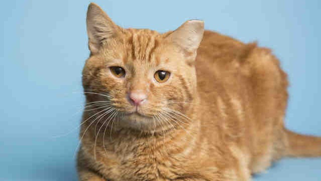 Pippin is up for adoption at Arizona Humane Society's Campus for Compassion, 1521 W. Dobbins Road in Phoenix.