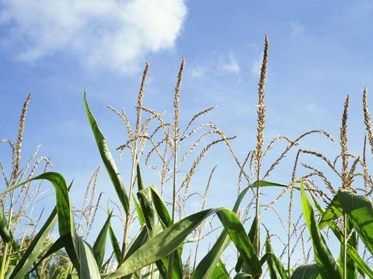 cornfieldX2
