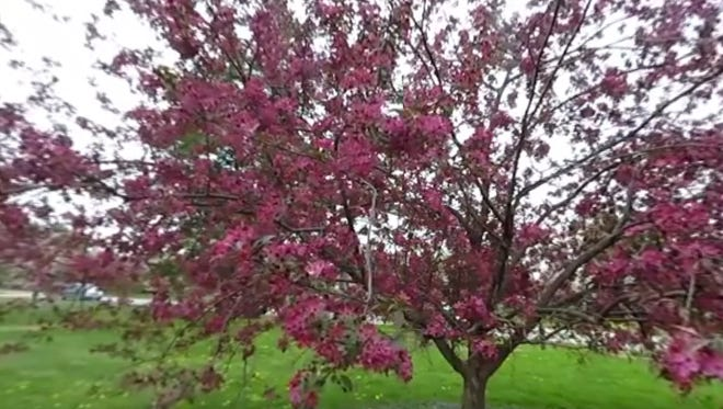 A crabapple tree blooms brilliantly in Water Works Park on Monday, April 18, 2016.