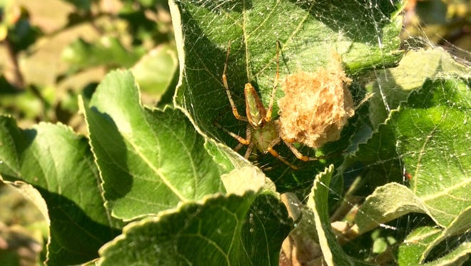 Green lynx spiders are beneficial in the garden, as they prey on insect pests.