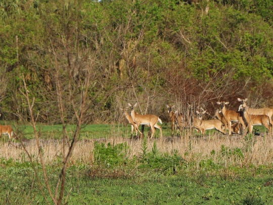 Cliff Cammarata took this photo of a herd of deer in Teague Hammock Preserve in Fort Pierce.